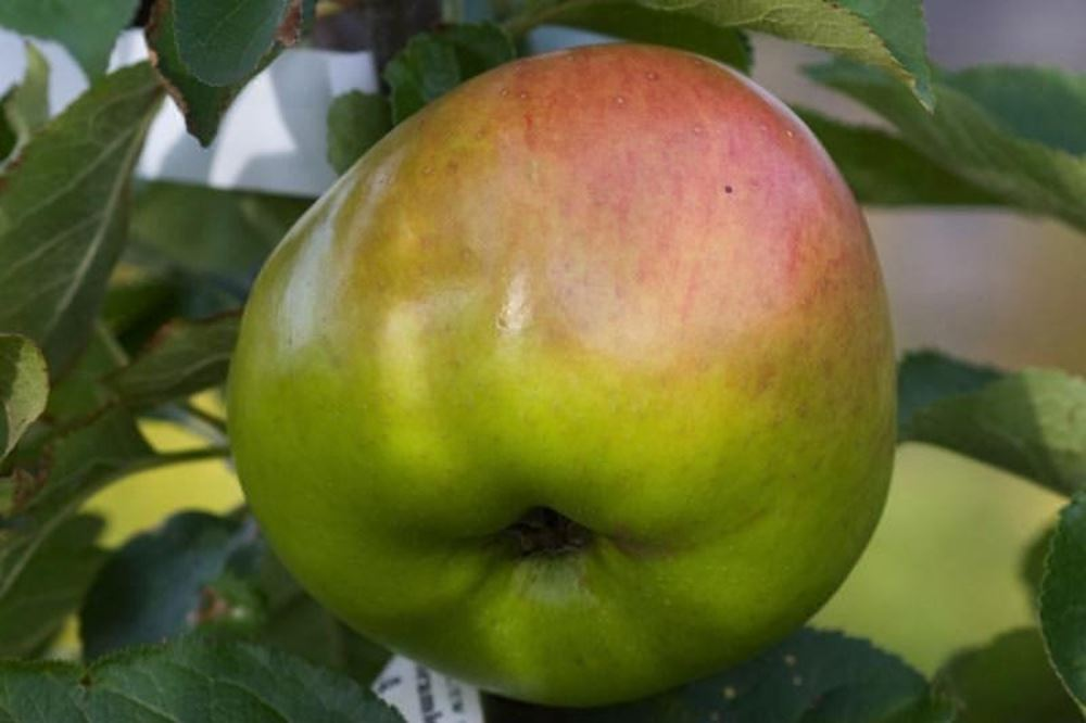 Apples cooking (Bramley)