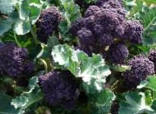 Broccoli - PSB Organic