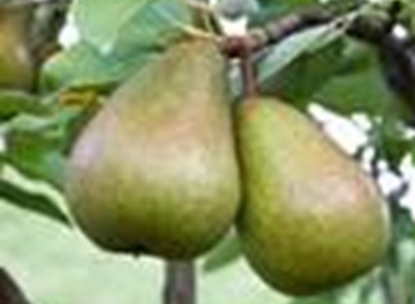 Pear - Black Worcester (cooking)